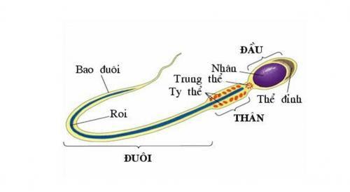 cấu tạo của tinh trùng