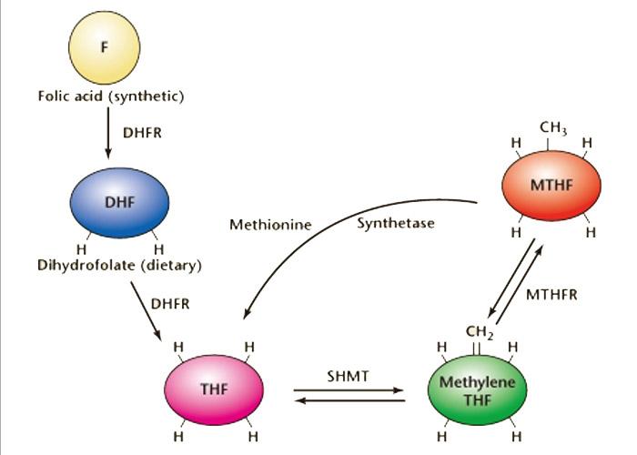 chu trình xử lý của acid folic